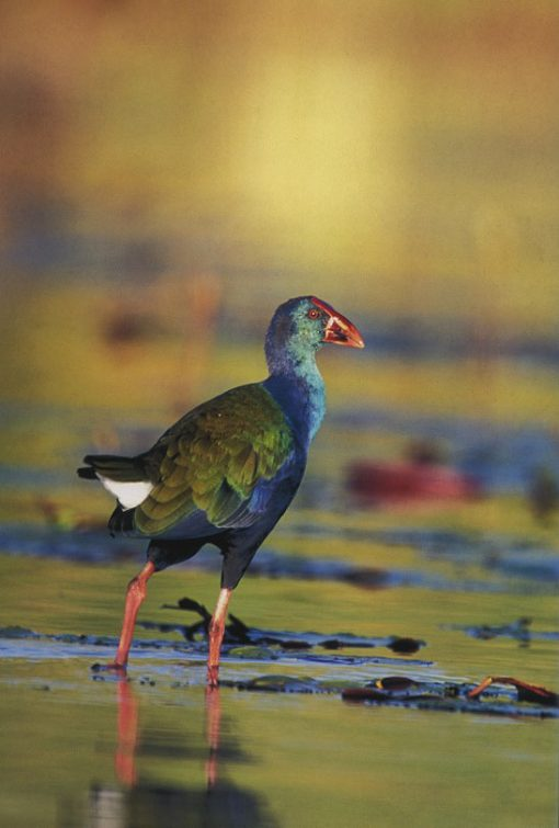 African_purple_swamphen